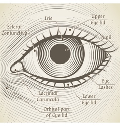 Human eye etching with captions cornea vector