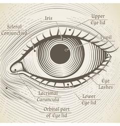Human eye etching with captions cornea vector