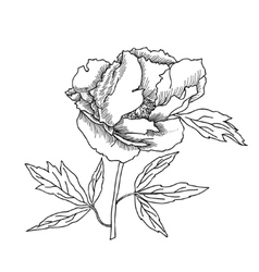 Peony sketch black and white vector