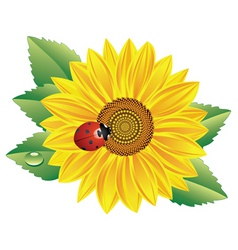 Sunflower and red ladybird vector