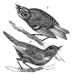 Kinglet vintage engraving vector