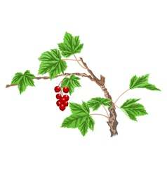 Currant-twig-with-red-berri vector