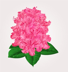Rhododendron in bloom pink flower mountain shrub v vector