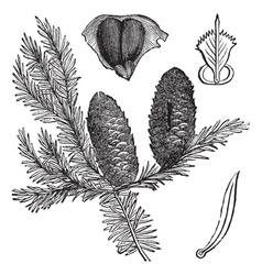 Balsam fir vintage engraving vector
