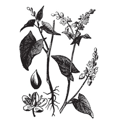 Buckwheat vintage engraving vector