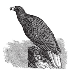 European eagle vintage engraving vector