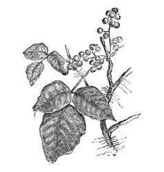 Poison ivy vintage engraving vector