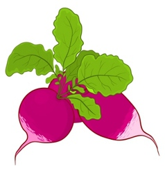 Radish with leaves vector
