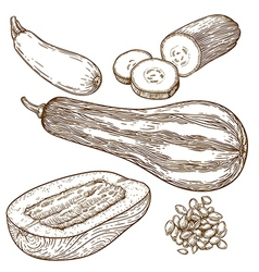 Engraving squash vector