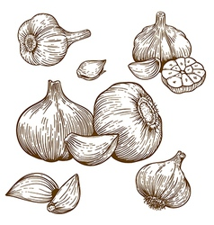 Engraving garlic vector