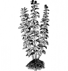 Helianthus tuberosus vector