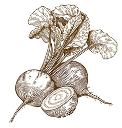 Engraving beet vector
