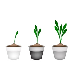 Chinese ginger plant or fingerroot plant in pots vector