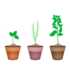 Holy basil plants in ceramic flower pots vector