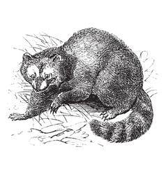 Vintage raccoon sketch vector