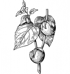 Physalis vector