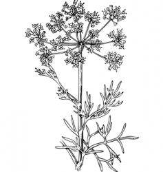 Foeniculum flowering fennel vector