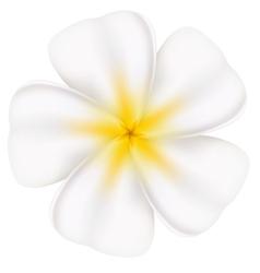 Beautiful frangipani vector