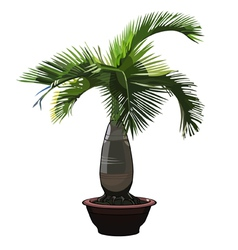 Palm tree hyophorbe in a pot vector