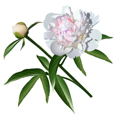 White realistic paeonia flower with leaves and bud vector