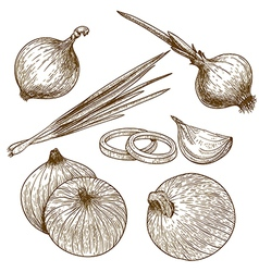 Engraving onion vector