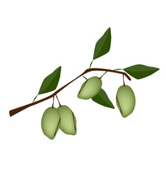 Fresh green unripe almonds on a branch vector