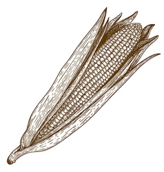 Engraving corn vector