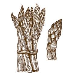 Engraving asparagus vector