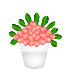 Fresh crown of thorns flowers in ceramic pot vector