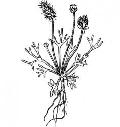 Plant ceratocephala vector