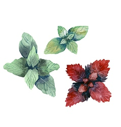 Water color herbs mint and basil vector