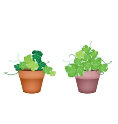 Two polyscias leaves in ceramic flower pots vector