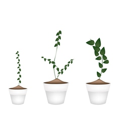 Three creeper plant in ceramic flower pots vector