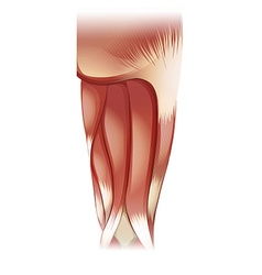 Nu leg upper muscle 07 vector