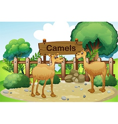 Two camels inside the wooden fence with a wooden vector