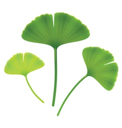 Leaves of ginkgo biloba on white background vector
