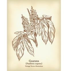 Guarana branch with fruit and leaves vintage vector