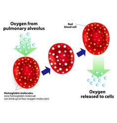 Hemoglobin molecules vector