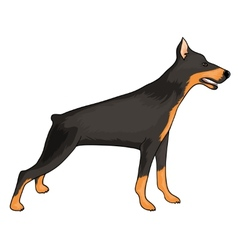 Doberman eps10 vector