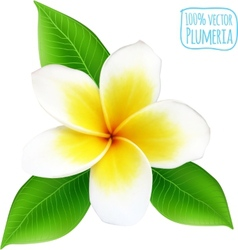 Realistic isolated plumeria flower vector