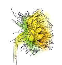 Ink and watercolor sunflower vector