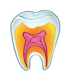 Teeth on section vector