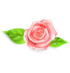 Pink rose with dew drops vector