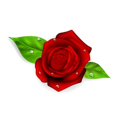 Red rose with dew drops vector