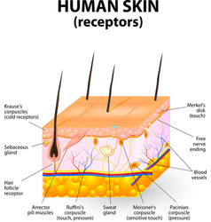 Cross section human skin vector