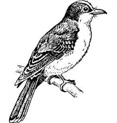 Bird tyrannidae vector