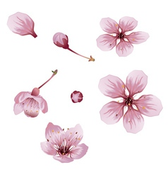 Cherry blossom flowers vector