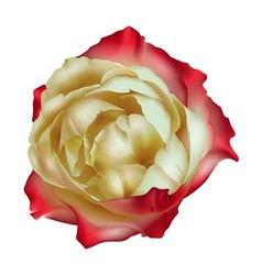 Tea rose isolated vector