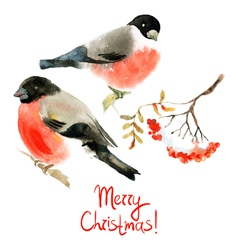 Watercolor bullfinch and ashberry vector