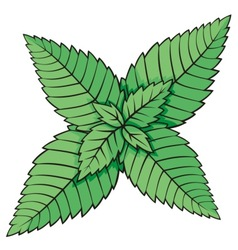 Mint leaves vector